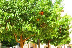 alberatura di arance per le vie del centro di sciacca
