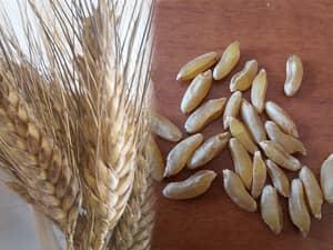spiga e chicchi di grano perciasacchi